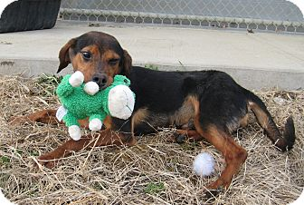 Hound (Unknown Type) Mix Puppy for adoption in Florence, Indiana - Sawyer