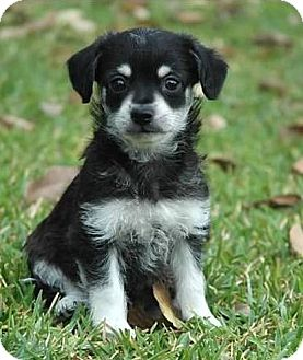 Jack Russell Terrier/Beagle Mix Puppy for adoption in La Habra Heights, California - Sheldon