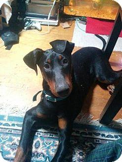 Doberman Pinscher Puppy for adoption in Garwood, New Jersey - Dobie