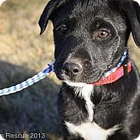 Adopt A Pet :: Pinky SugarPants - Broomfield, CO