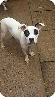 American Pit Bull Terrier Puppy for adoption in South Park, Pennsylvania - Dottie