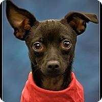 Adopt A Pet :: Archie - Wickenburg, AZ