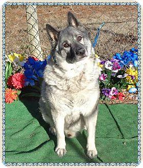 Norwegian Elkhound Mix Dog for adoption in Marietta, Georgia - THOR (R)