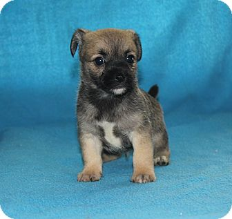 Pomeranian/Pekingese Mix Puppy for adoption in Colonial Heights, Virginia - Leonard