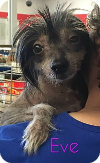 Chinese Crested Dog for adoption in House Springs, Missouri - Eve