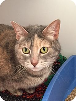 Domestic Shorthair Cat for adoption in Divide, Colorado - Trinity