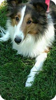 Sheltie, Shetland Sheepdog Dog for adoption in COLUMBUS, Ohio - Cleo