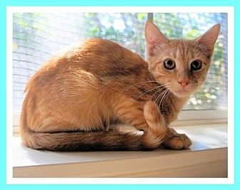 Domestic Shorthair Cat for adoption in Euless, Texas - Freddy