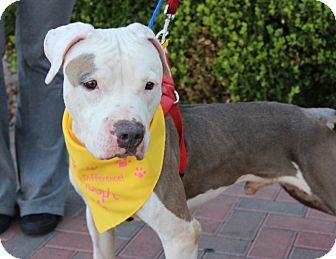 American Bulldog/American Pit Bull Terrier Mix Dog for adoption in Las Vegas, Nevada - MJ
