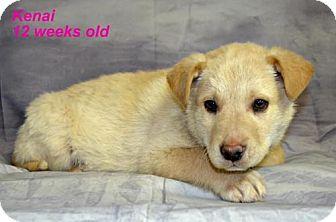 Husky/Shepherd (Unknown Type) Mix Puppy for adoption in Yreka, California - Kenai