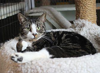 Domestic Shorthair Cat for adoption in Carlisle, Pennsylvania - Kennedy