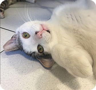 American Shorthair Kitten for adoption in New York, New York - Fred