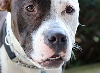 Pit Bull Terrier Mix Dog for adoption in Jackson, New Jersey - Karma