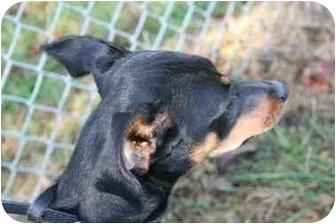 Miniature Pinscher Mix Dog for adoption in Saint Charles, Missouri - Minnie
