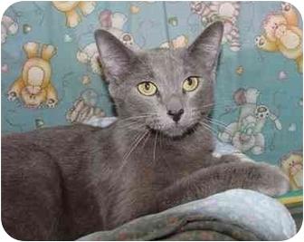 Russian Blue Cat for adoption in Brenham, Texas - Sophia