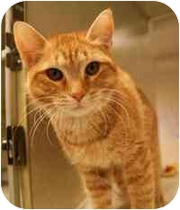 Domestic Shorthair Cat for adoption in Walker, Michigan - Flo