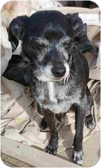 Terrier (Unknown Type, Small) Mix Dog for adoption in Anza, California - Slick