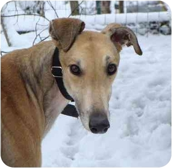 Greyhound Dog for adoption in Musquodoboit Harbour, Nova Scotia - Steve McQueen