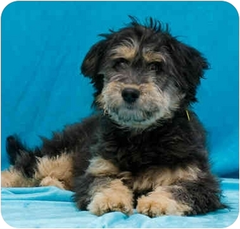 Yorkie, Yorkshire Terrier/Poodle (Miniature) Mix Puppy for adoption in Westminster, Colorado - TRISTAN