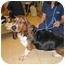 Photo 2 - Basset Hound Dog for adoption in Portsmouth, Rhode Island - Isabelle