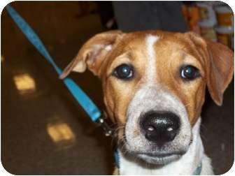 Pointer/Labrador Retriever Mix Dog for adoption in Brownsville, Texas - Bonnie