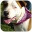 Photo 2 - American Staffordshire Terrier/American Bulldog Mix Dog for adoption in Sacramento, California - Eclipse.Stunning