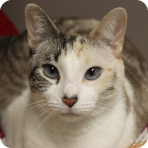 Siamese Cat for adoption in Naperville, Illinois - Guinevere