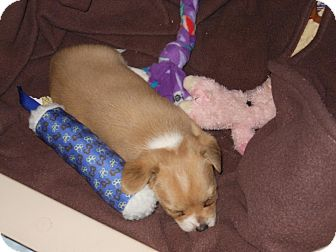 Chihuahua Mix Puppy for adoption in South Haven, Michigan - Sassy (adoption pending)