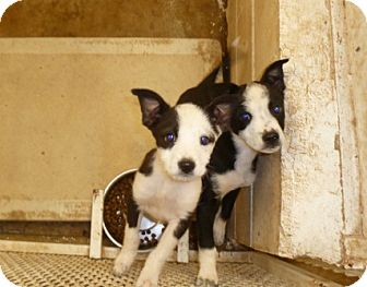 Border Collie/Jack Russell Terrier Mix Puppy for adoption in Comanche, Texas - Sasha