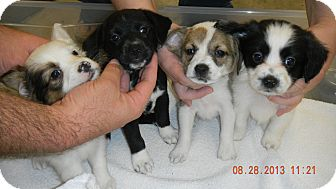 Border Collie/St. Bernard Mix Puppy for adoption in Sandusky, Ohio - THE GIRLS