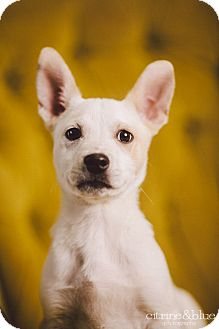 Australian Cattle Dog Mix Puppy for adoption in Portland, Oregon - Flocon