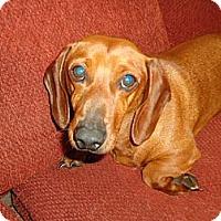 Adopt A Pet :: Porkchop - Staunton, VA