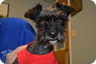 Yorkie, Yorkshire Terrier/Poodle (Standard) Mix Dog for adoption in Edwardsville, Illinois - Cisco