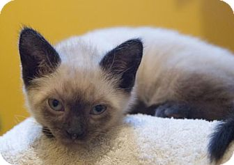 Siamese Kitten for adoption in Los Angeles, California - Frenchie & Mondale