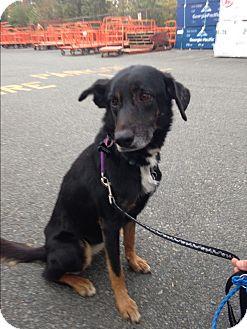 Labrador Retriever/German Shepherd Dog Mix Dog for adoption in Brick, New Jersey - Greta