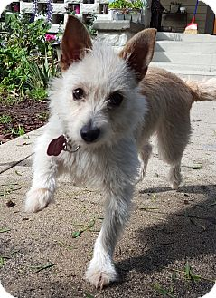 Norwich Terrier/Terrier (Unknown Type, Small) Mix Dog for adoption in Los Angeles, California - Edie