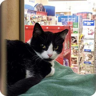 Domestic Shorthair Cat for adoption in Columbus, Ohio - Oreo Cookie