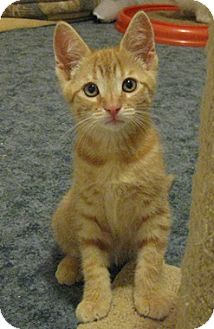 Domestic Shorthair Kitten for adoption in North Highlands, California - Berlioz