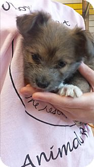 Poodle (Miniature)/Terrier (Unknown Type, Small) Mix Puppy for adoption in Mesa, Arizona - Casey