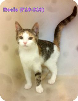 American Shorthair Kitten for adoption in Tiffin, Ohio - Rosie