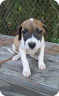 Hound (Unknown Type) Mix Puppy for adoption in Warrenton, North Carolina - Daisey