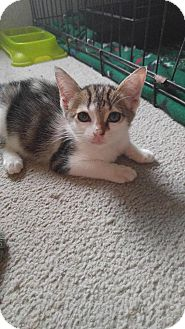 Domestic Shorthair Kitten for adoption in Golsboro, North Carolina - EVE