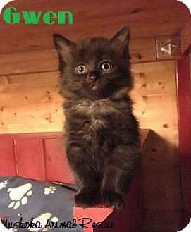 Domestic Mediumhair Kitten for adoption in Huntsville, Ontario - Gwen - Adopted January 2017
