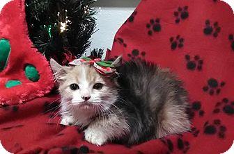 Calico Kitten for adoption in Montclair, California - Polly