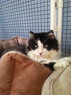 Domestic Longhair Cat for adoption in Cedaredge, Colorado - Mandy