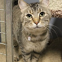 Adopt A Pet :: Tiger - New Richmond,, WI