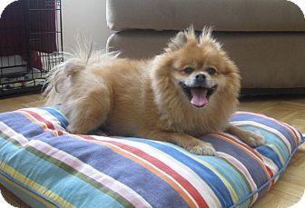 Pomeranian Mix Dog for adoption in Bowie, Maryland - Max