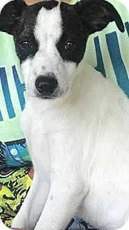 Rat Terrier/Jack Russell Terrier Mix Puppy for adoption in Burleson, Texas - Bristol