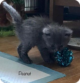 Domestic Shorthair Kitten for adoption in Greensburg, Pennsylvania - Peanut