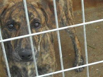 Labrador Retriever Mix Dog for adoption in Opelousas, Louisiana - Max